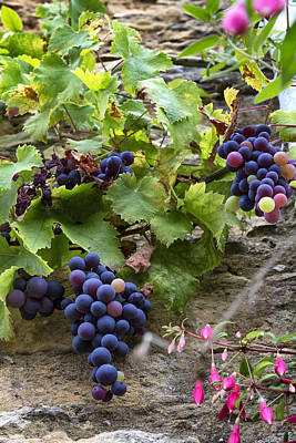 Grapevine Photograph - Late Summer Grapes by Georgia Fowler