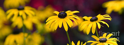 Abstracted Coneflowers Photograph - Late Summer Rudbeckia  by Tim Gainey