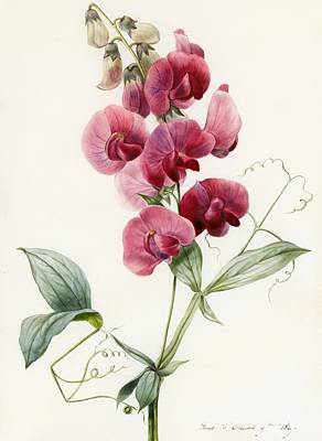 Everlastings Painting - Lathyrus Latifolius Everlasting Pea by Louise D Orleans