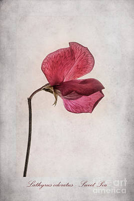 Isolated Digital Art - Lathyrus Odoratus - Sweet Pea by John Edwards