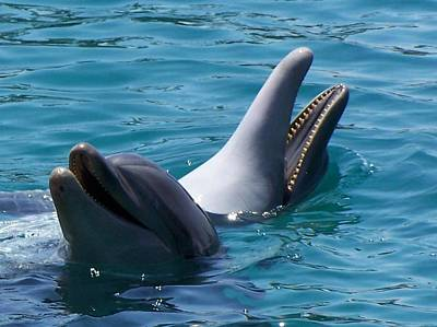 Laughing Dolphins Print by Noreen HaCohen