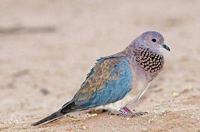 Senegal Photograph - Laughing Dove Calling by Tony Camacho