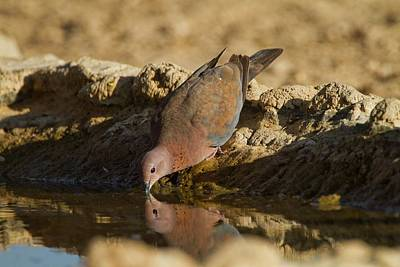 Dove Photograph - Laughing Dove (spilopelia Senegalensis) by Photostock-israel
