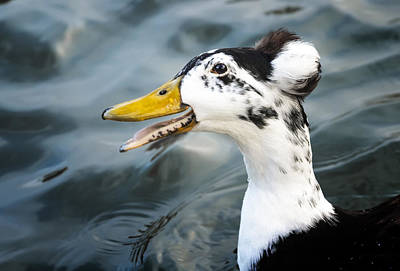Topknot Photograph - Laughing  Duck by Caitlyn  Grasso