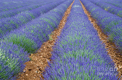 Lavendel 2 Print by Arterra Picture Library