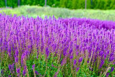 Photograph - Lavender by Allan Millora