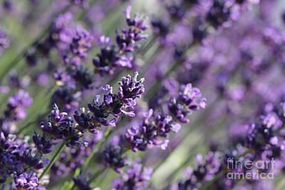 Nature Photograph - Lavender by Amanda Mohler