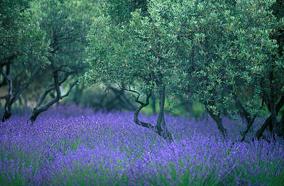 Europe Provence Aix-en-provence Photograph - Lavender And Olive Tree In Provence by Gilles Martin-Raget