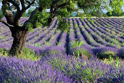 Lavender Field Print by Brian Jannsen