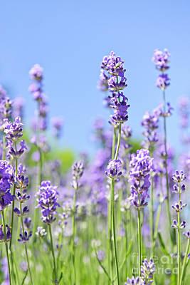 Lavender Flowering Print by Elena Elisseeva