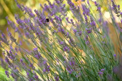 Landscape Photograph - Lavender Flowers by Modern Art Prints
