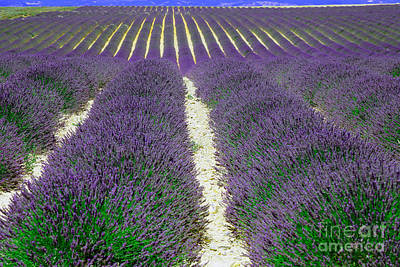 Lavender, French Provence Print by Adam Sylvester