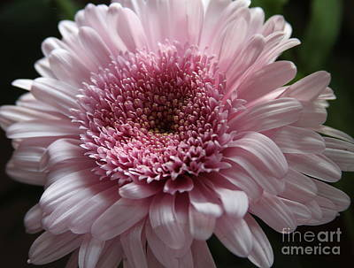 Flowers Photograph - Lavender Gerbera by Cathy Lindsey