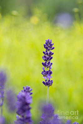 Colorful Abstract Photograph - Lavender Hidcote by Tim Gainey