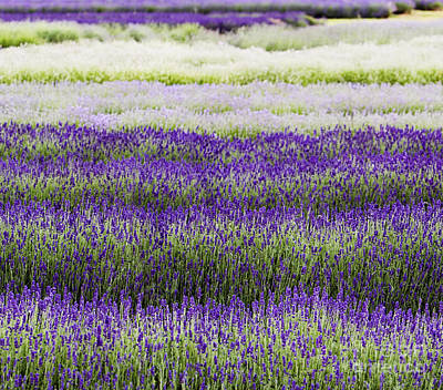 Colorful Abstract Photograph - Lavender Lines  by Tim Gainey