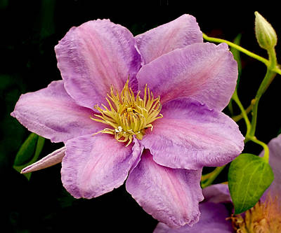 Purple Photograph - Lavender Pink Clematis by Rona Black