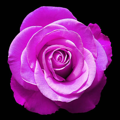 Lavender Rose Print by Aimee L Maher Photography and Art Visit ALMGallerydotcom