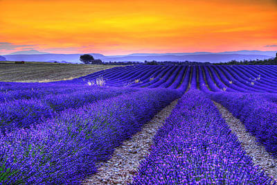 Lavender's Sunset Print by Midori Chan