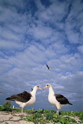 Laysan Albatross Pair Courting Midway Print by Tui De Roy