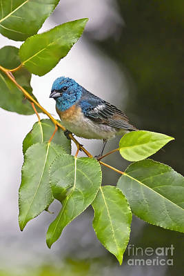 Bunting Digital Art - Lazuli Bunting 3a by Sharon Talson