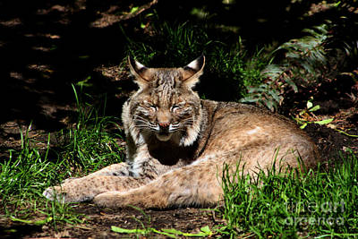 Bobcats Photograph - Lazy Bobcat In The Sun by Nick Gustafson