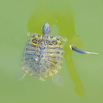 Turtle Photograph - Lazy Summer Afternoon - Floating Turtle - Square by Menega Sabidussi