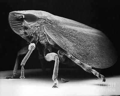Leafhopper Print by David M. Phillips