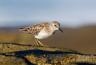 Sandpiper Photograph - Least Sandpiper by Anthony Mercieca