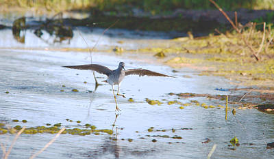 Sandpiper Digital Art - Least Sandpiper Water Landing by Roy Williams