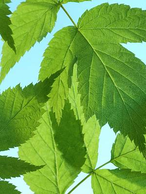 Leaves Print by Science Photo Library