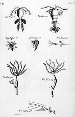 Leeuwenhoek: Hydra, 1704 Print by Granger