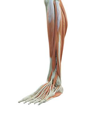 Leg And Foot Muscles Print by Sciepro