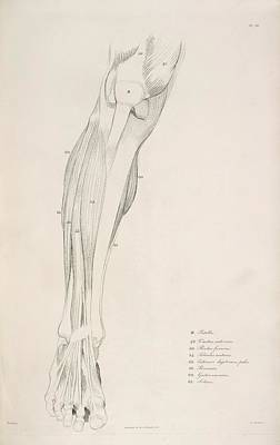 Of Artist Photograph - Leg Bones And Muscles by British Library