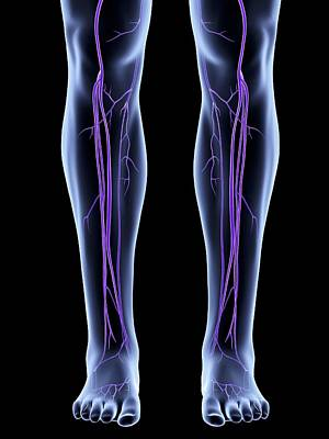 Legs Showing Venous System Print by Alfred Pasieka