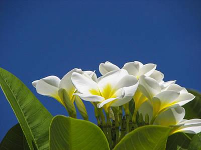 Lemon Drop Plumeria Print by Carolyn Marshall