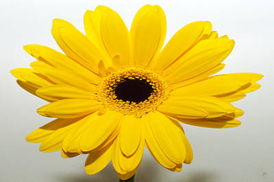 Sunburst Floral Still Life Photograph - Lemon Meringue Zinnia by Sherry Allen