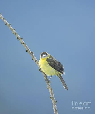 Bird Photograph - Lemon-rumped Tanager by Dan Suzio