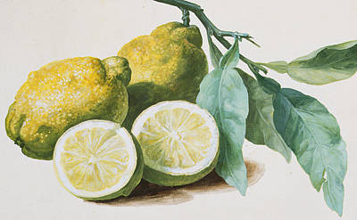 Water And Plants Painting - Lemons by Pierre Joseph Redoute