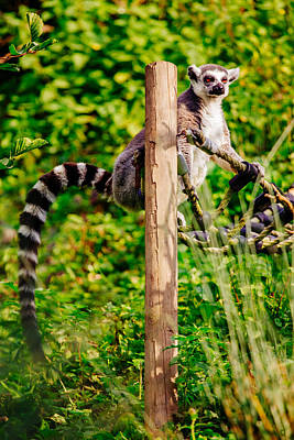 Ring-tail Lemur Photograph - Lemur In The Green by Pati Photography