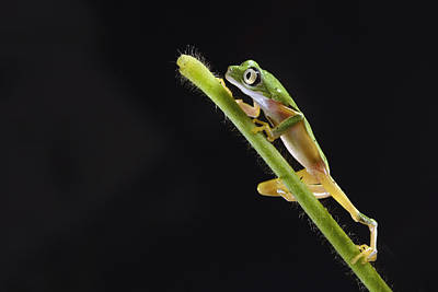 Limburg Photograph - Lemur Leaf Frog by Marianne Brouwer