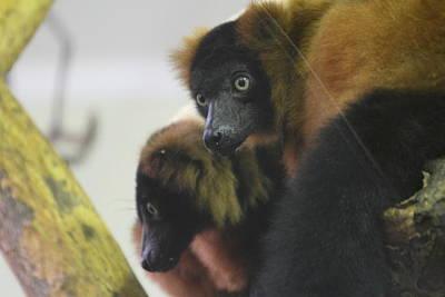 Lemur - National Zoo - 01131 Print by DC Photographer