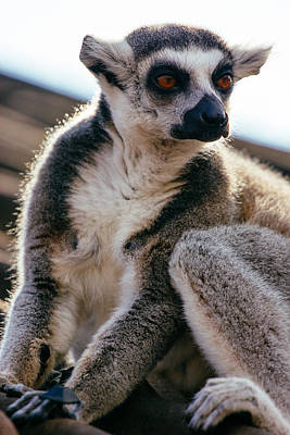 Ring-tail Lemur Photograph - Lemur On The Roof by Pati Photography