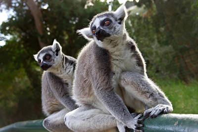 Lemurs Print by Nadya Ost