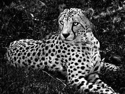 The Big Five Photograph - Cheetah by Andrew Chianese
