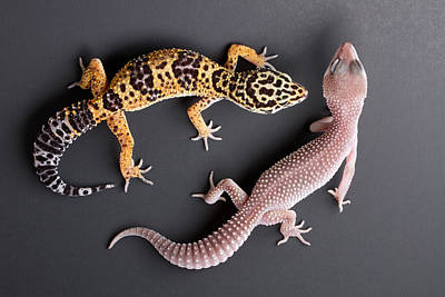 Leopard Gecko E. Macularius Collection Print by David Kenny