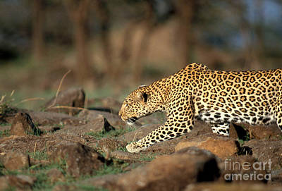 Panther Photograph - Leopard by Mark Newman