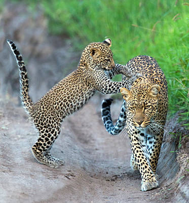 Leopard Panthera Pardus Family Print by Panoramic Images