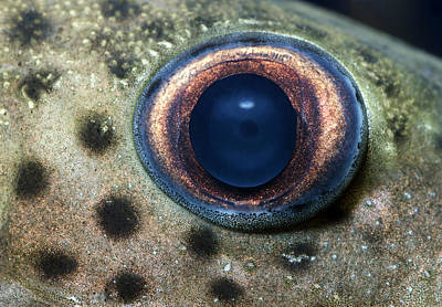 Catfish Photograph - Leopard Sailfin Pleco Eye Abstract by Nigel Downer