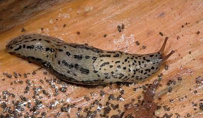 Leopard Slug Or Great Grey Slug Print by Nigel Downer