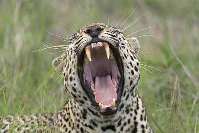 Leopard Yawning Sabi-sands Game Reserve Print by Sergey Gorshkov